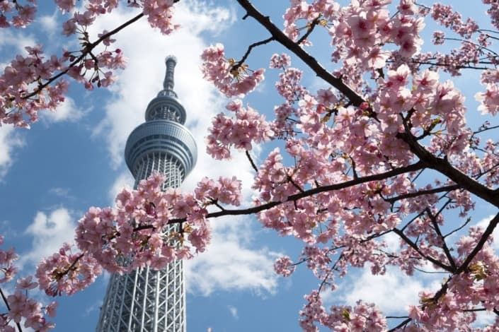 Skytree and cherry blossom